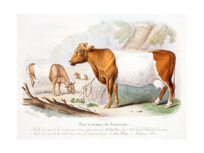 Somerset Cows, 1842--Giclee Print