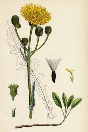 https://imgc.artprintimages.com/img/print/sonchus-arvensis-corn-sow-thistle_u-l-pvfw4y0.jpg?p=0