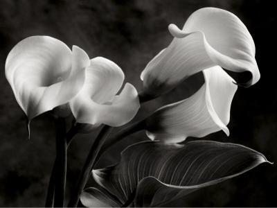 Calla Lilies No. 1