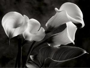 Calla Lilies No. 1 by Sondra Wampler