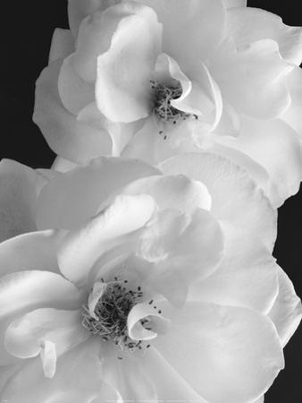 Iceberg Roses II