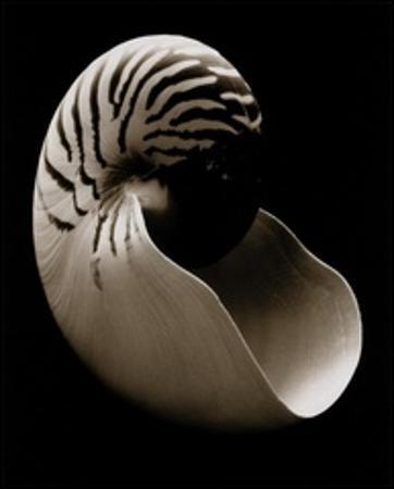 Nautilus (small)