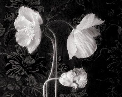 Poppy III
