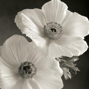 Beautiful flowers black and white photography artwork for sale poppy study i mightylinksfo