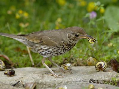 Song Thrush (Turdus Philomelos) at Anvil Smashing Land Snails on Rock, UK-Dave Watts-Photographic Print
