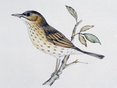 Song Thrush (Turdus Philomelos O Turdus Ericetorum), Turdidae--Giclee Print