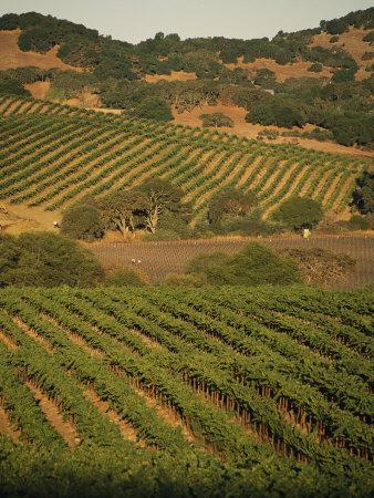 https://imgc.artprintimages.com/img/print/sonoma-county-vineyards-california_u-l-p3kkyo0.jpg?p=0