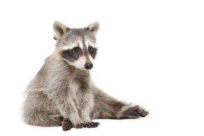 Cute Raccoon by Sonsedskaya
