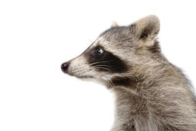 Portrait of a Raccoon in Profile by Sonsedskaya