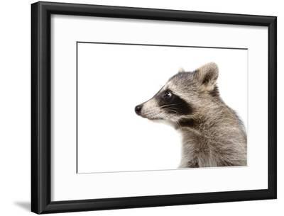 Portrait of a Raccoon in Profile