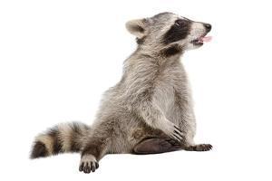 Raccoon, that Shows Tongue by Sonsedskaya