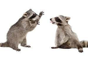 Two Funny Raccoon Playing Together by Sonsedskaya