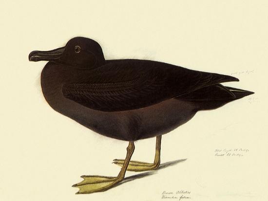 Sooty Albatross-John James Audubon-Giclee Print
