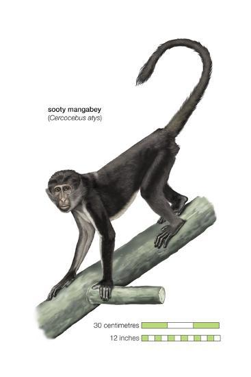 Sooty Mangabey (Cercocebus Atys), Monkey, Mammals-Encyclopaedia Britannica-Art Print