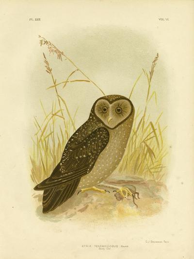 Sooty Owl, 1891-Gracius Broinowski-Giclee Print