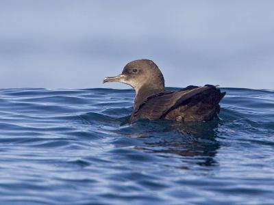 Sooty Shearwater (Puffinus Griseus) Swimming on the Ocean Near Victoria, British Columbia, Canada-Glenn Bartley-Photographic Print