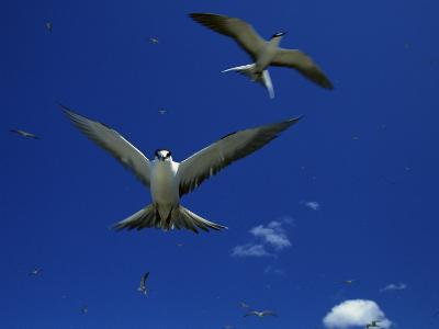 Sooty Terns in Flight in a Blue Sky-Tim Laman-Photographic Print
