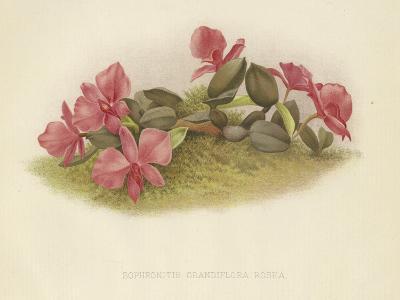 Sophronitis Grandiflora Rosea--Giclee Print
