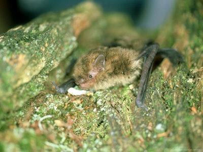 Soprano Pipistrelle Bat, Aylesbury, England-Les Stocker-Photographic Print