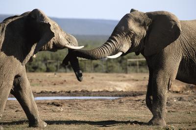 South Africa, Addo Elephant National Park, Bull Elephants Near Water Hole-Paul Souders-Photographic Print