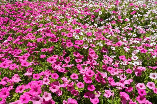 South Africa, Capetown, the Company's Garden, Petunias-Catharina Lux-Photographic Print