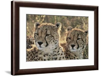 South Africa, Close-Up of Cheetahs-Amos Nachoum-Framed Photographic Print