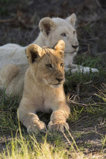South Africa, East London. Inkwenkwezi Game Reserve. Lion Cubs-Cindy Miller Hopkins-Photographic Print