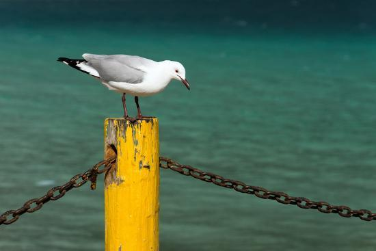 South Africa, Houtbay, Harbour, Gull-Catharina Lux-Photographic Print