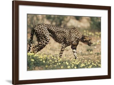 South Africa, Kalahari Gemsbok National Park, Cheetah Walks in Field of Flowers-Paul Souders-Framed Photographic Print