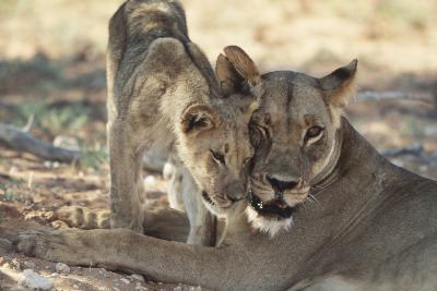 South Africa, Kalahari Gemsbok National Park, Kgalagadi Park, Pride of Lions-Paul Souders-Photographic Print