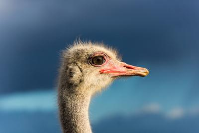 https://imgc.artprintimages.com/img/print/south-africa-oudtshoorn-town-ostrich-head-portrait-from-the-side_u-l-q11w32h0.jpg?p=0