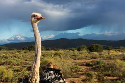 https://imgc.artprintimages.com/img/print/south-africa-oudtshoorn-town-ostrich_u-l-q11vsfa0.jpg?p=0