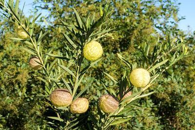 https://imgc.artprintimages.com/img/print/south-africa-platycodon-gomphocarpus-fruticosus_u-l-q11xn270.jpg?p=0