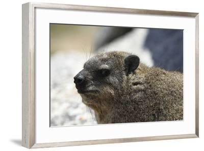 South African Dassie Rat 005-Bob Langrish-Framed Photographic Print