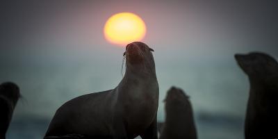 South African Fur Seal (Arctocephalus Pusillus Pusillus) with Setting Sun, Walvis Bay, Namibia-Wim van den Heever-Photographic Print
