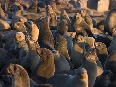 South African Fur Seals, Arcotocephalus Pusillus, Cape Cross, Namibia, Africa-Thorsten Milse-Photographic Print