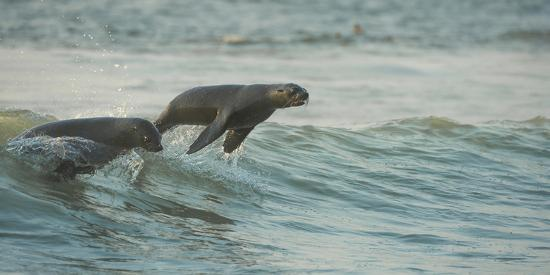 South African Fur Seals (Arctocephalus Pusillus Pusillus) Surfing Out on Wave. Walvisbay, Namibia-Wim van den Heever-Photographic Print