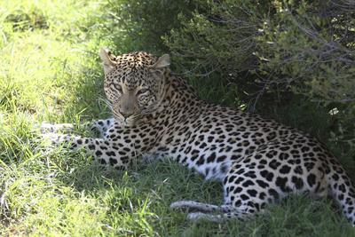 https://imgc.artprintimages.com/img/print/south-african-leopard-004_u-l-q12tpur0.jpg?p=0