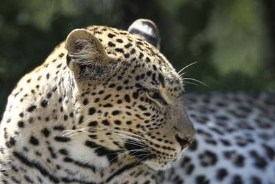 https://imgc.artprintimages.com/img/print/south-african-leopard-007_u-l-q12tpwh0.jpg?p=0