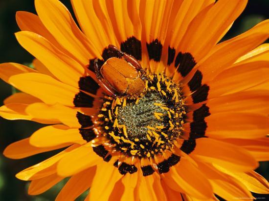 South African Monkey Beetle Burrows Deep Into a Gazania Flower-Jonathan Blair-Photographic Print