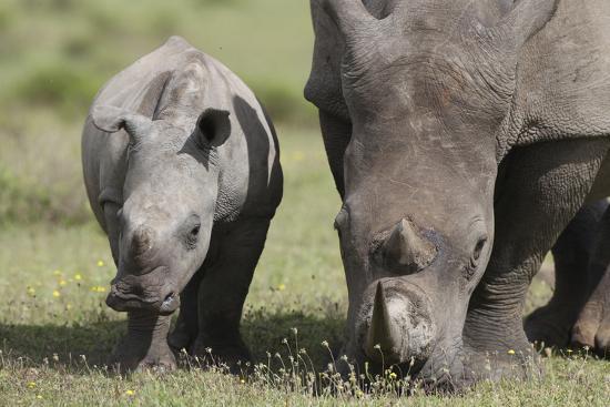 South African White Rhinoceros 014-Bob Langrish-Photographic Print