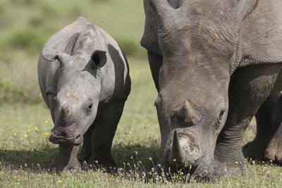 https://imgc.artprintimages.com/img/print/south-african-white-rhinoceros-014_u-l-q12tp590.jpg?p=0