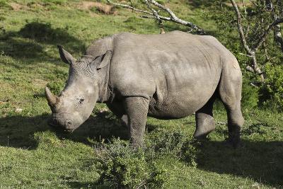 South African White Rhinoceros 022-Bob Langrish-Photographic Print