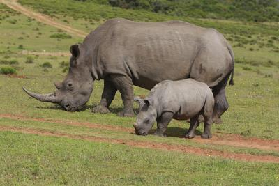 https://imgc.artprintimages.com/img/print/south-african-white-rhinoceros-028_u-l-q12tp9x0.jpg?p=0