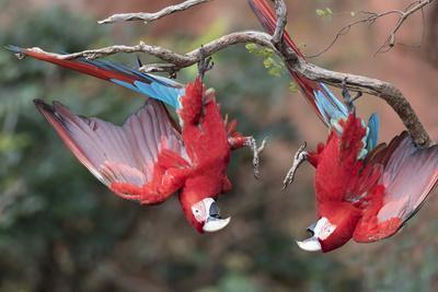 https://imgc.artprintimages.com/img/print/south-america-brazil-mato-grosso-do-sul-jardim-a-pair-of-red-and-green-macaws-together_u-l-q1czopf0.jpg?p=0