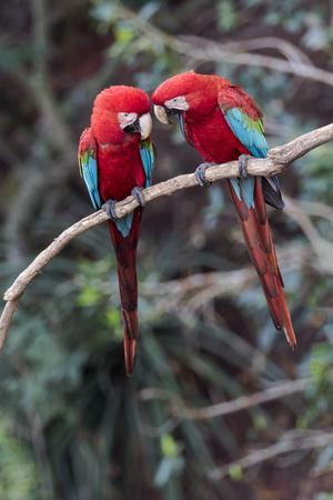 https://imgc.artprintimages.com/img/print/south-america-brazil-mato-grosso-do-sul-jardim-a-pair-of-red-and-green-macaws-together_u-l-q1czped0.jpg?p=0