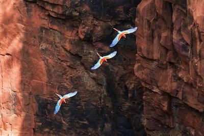 South America, Brazil, Mato Grosso do Sul, Jardim, Red-and-green macaws flying in the sinkhole.-Ellen Goff-Photographic Print