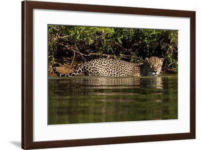 South America, Brazil, Pantanal Wetlands, Jaguar Preparing to Cross the Three Brothers River-Judith Zimmerman-Framed Photographic Print
