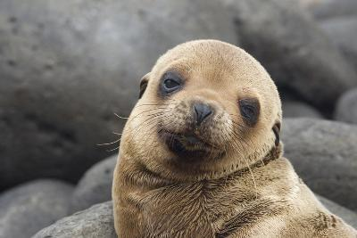 South America, Ecuador, Galapagos Islands. Portrait of Sea Lion Pup-Jaynes Gallery-Photographic Print