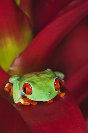 https://imgc.artprintimages.com/img/print/south-america-panama-red-eyed-tree-frog-on-bromeliad-flower_u-l-q1d0cgt0.jpg?p=0
